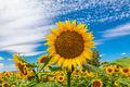 Sunflowers4 print