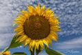 Sunflowers7 print