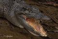 Aussie Croc print
