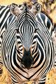 Zebra Mug Shot print
