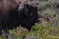 Spring Bison print
