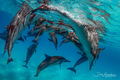 Kua Dolphin Coverup print