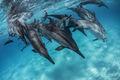 Kua Dolphin Rampage print