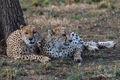 Cheetahs chilling print