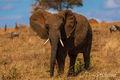 Elephant Headed to Water print