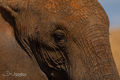 Elephant Profile print