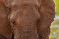 Elephant Close Up print