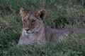 Lion Youngster print