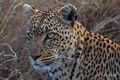 Leopard Profile print