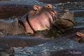 Hippo Bath print