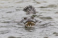 Croc Attack print
