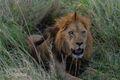 King of the Serengeti print
