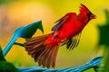 Cool Cardinal print