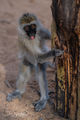 Vervet Monkey Visit print
