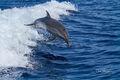 Dolphin Launch print