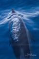 Dolphin Bubbler print