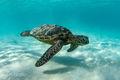 Morning Turtle at Kua Bay print