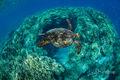 Puako Turtle print