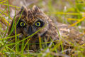 Owl In The Grass print
