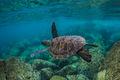 Waimea Turtle print