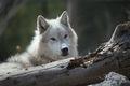 West Yellowstone Wolf print