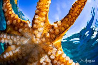 Octopus Closeup