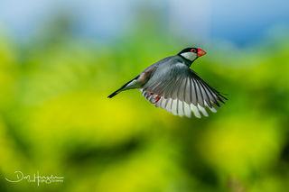 Java Sparrow Special