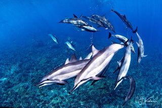 Dolphin Vortex