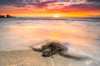 Dusky Glow Turtle
