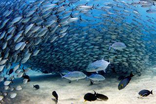 Fish Chaos