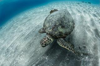 Ho'okena Turtle