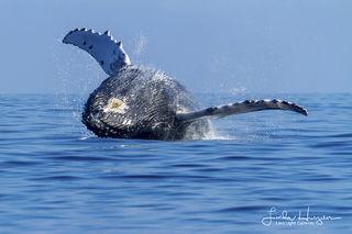 Maui Whale Splash