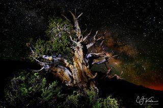Milky Bristol Pine