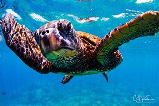 Pachino Turtle