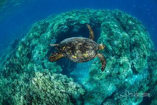 Puako Turtle