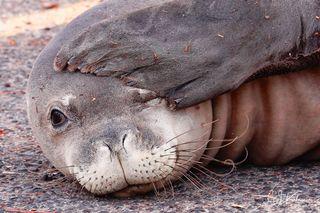 Seal Hangover