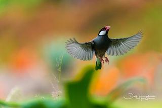 Java Sparrow.