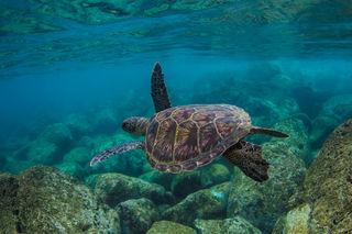 Waimea Turtle