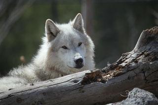 West Yellowstone Wolf