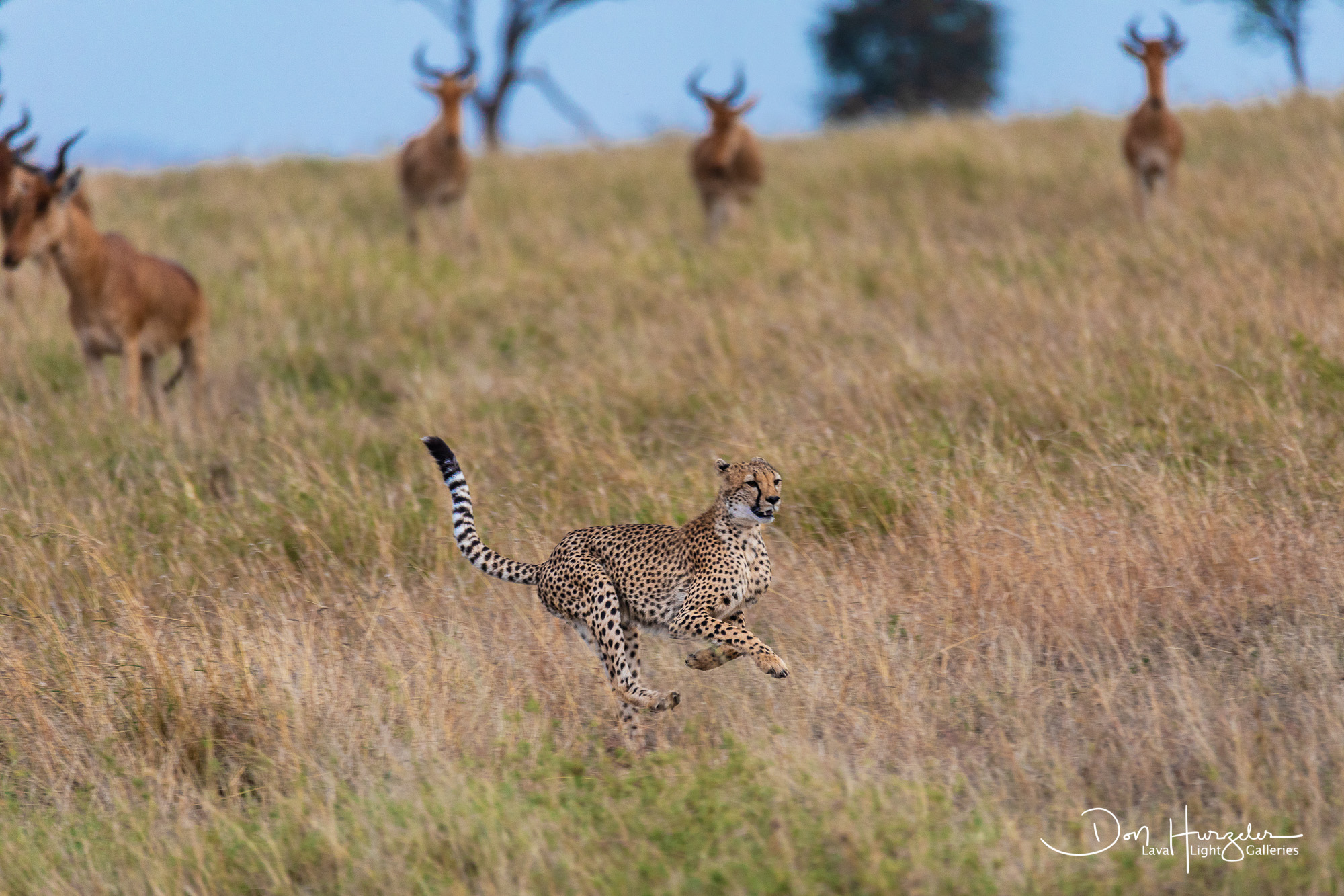 Cheetah Running for it's Life