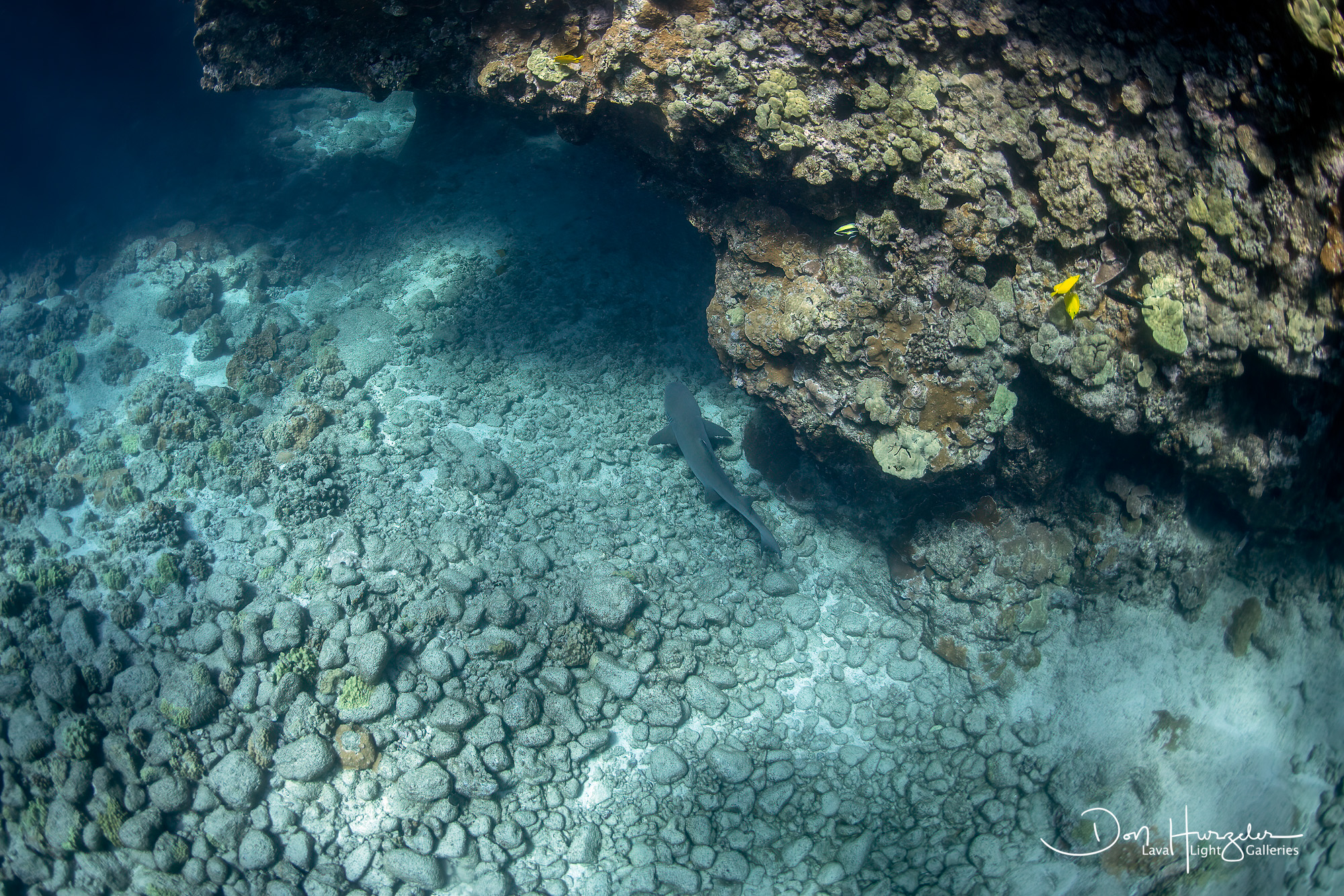 Reef white tip shark