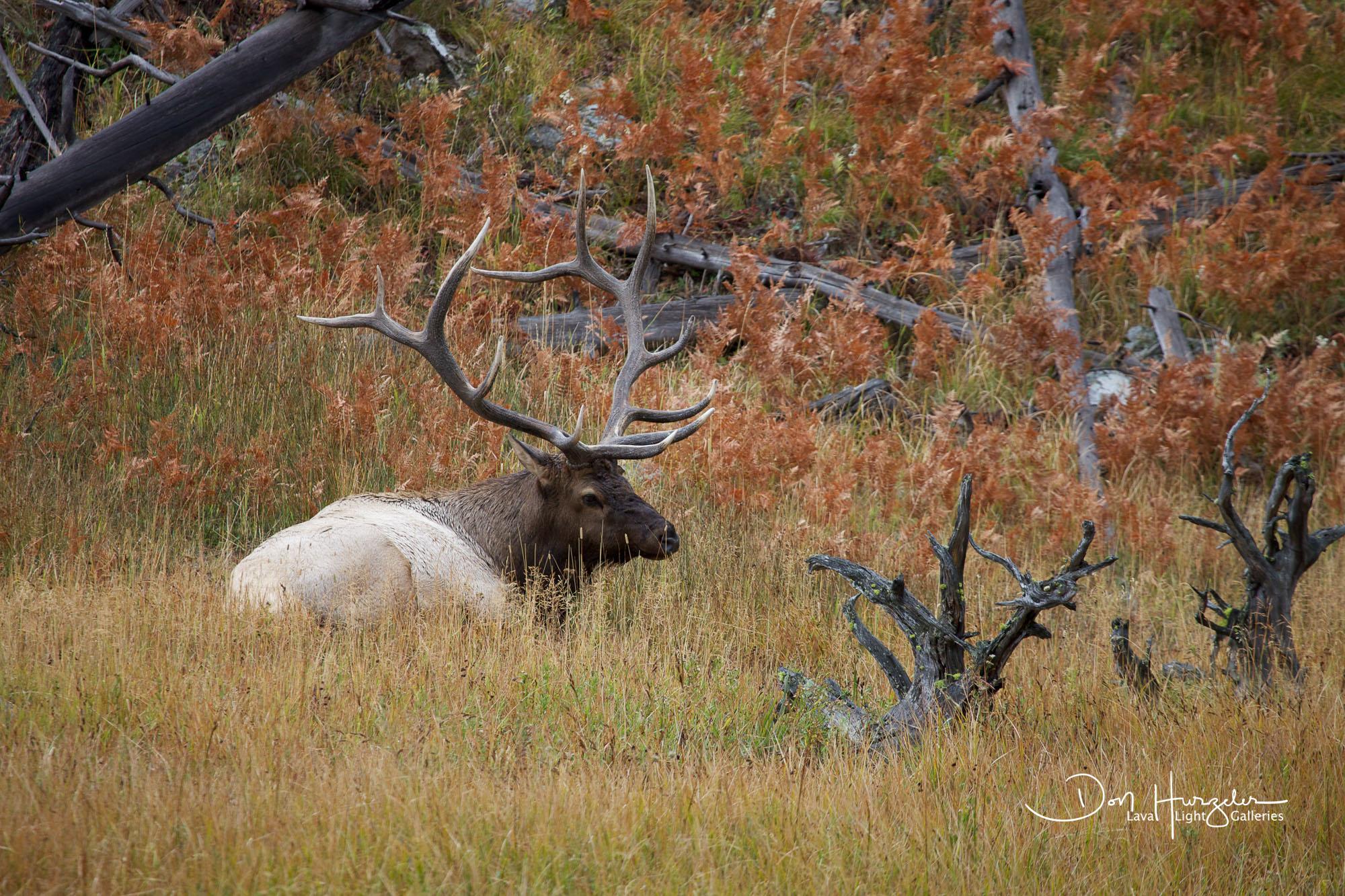 Resting elk.