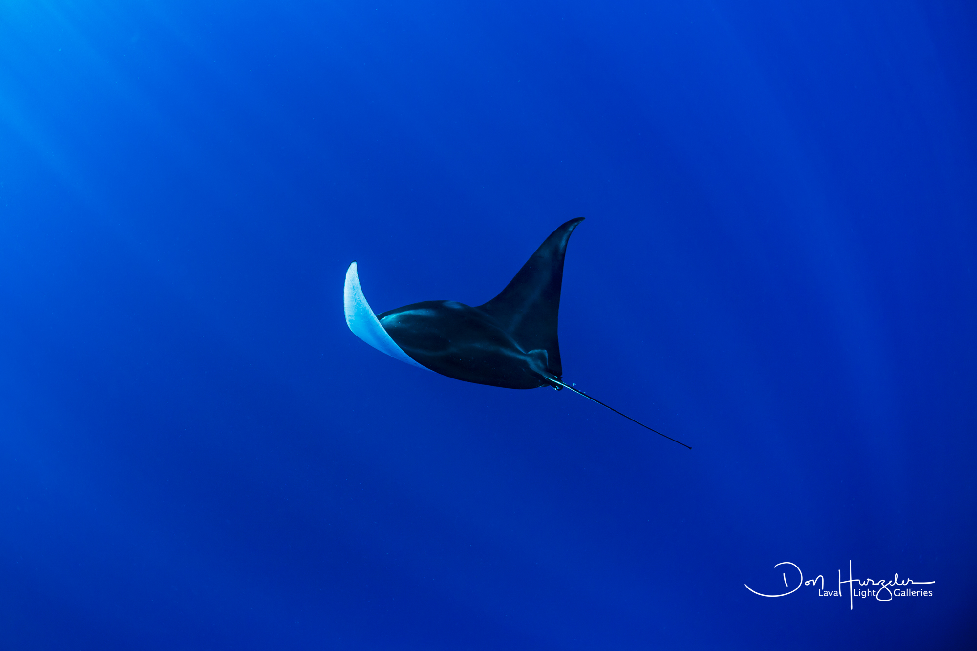 Manta flying over the depths.