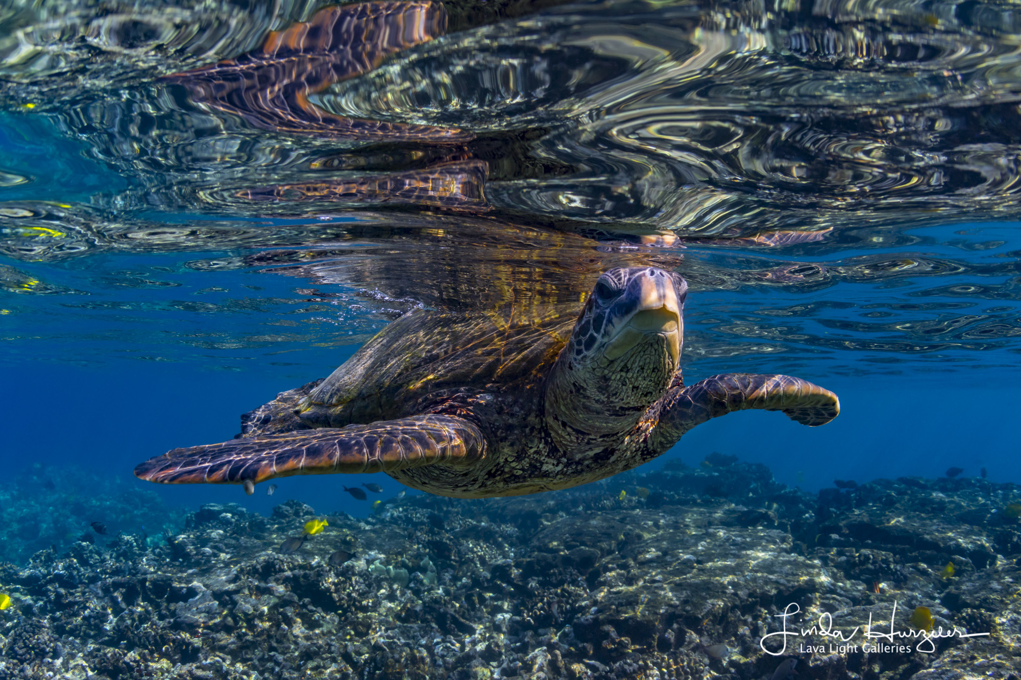Turtle skimming along the surface.