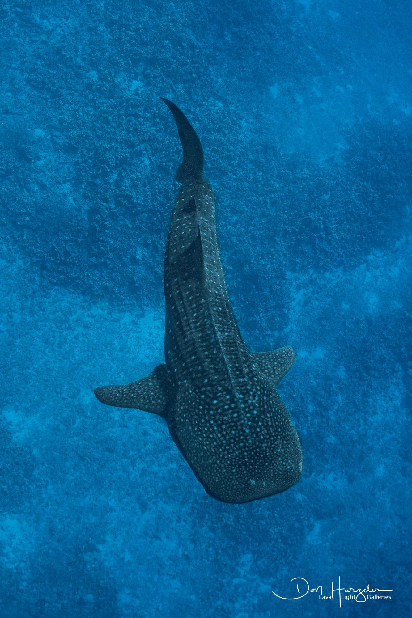 Whale Shark Vertical