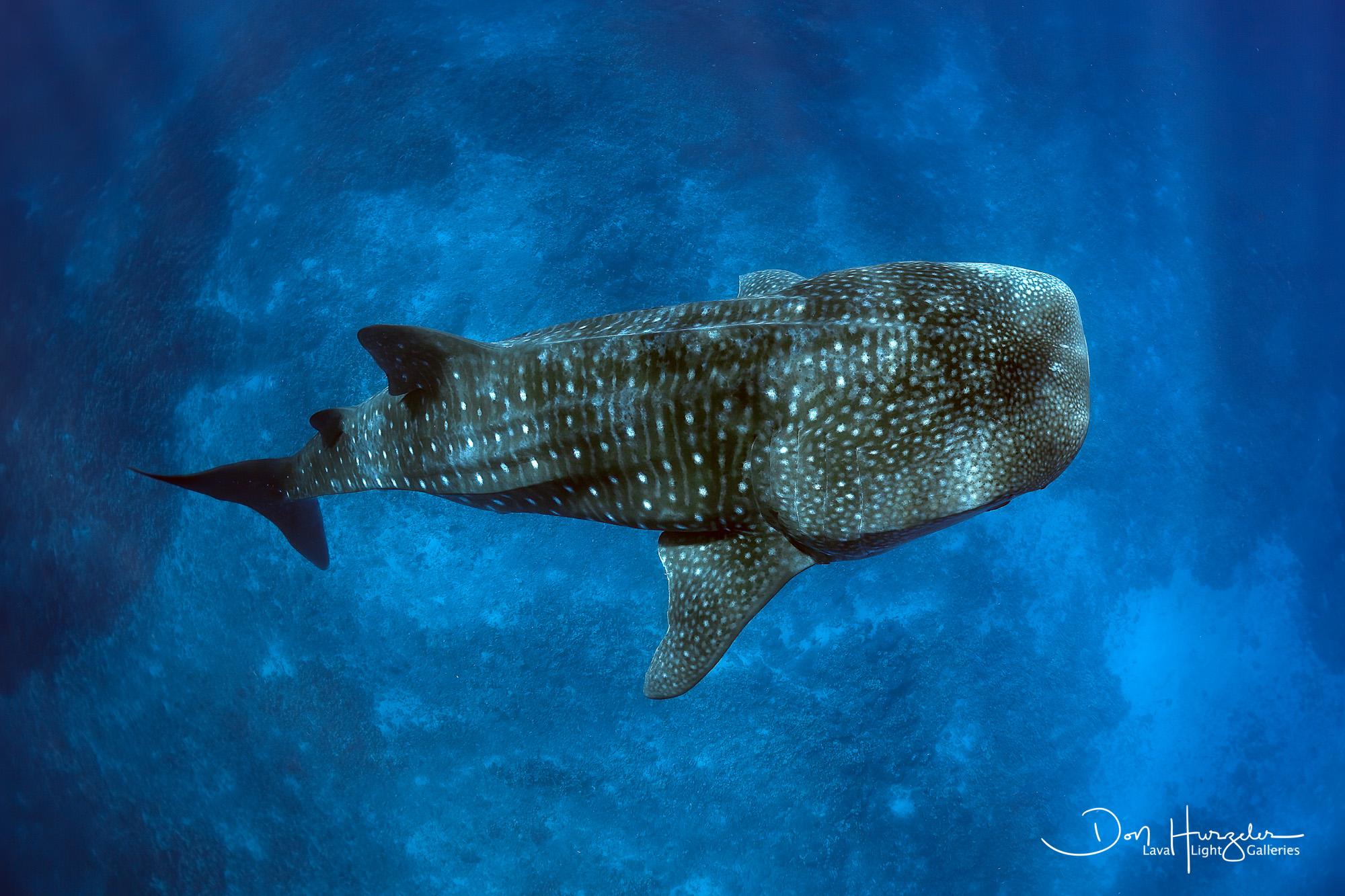 Kona Whale Shark